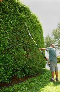 Florida ficus hedge plants http www landscapegenieofsfla com